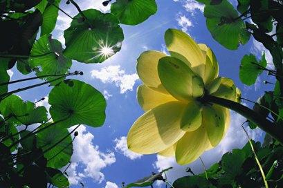 lotus and sun